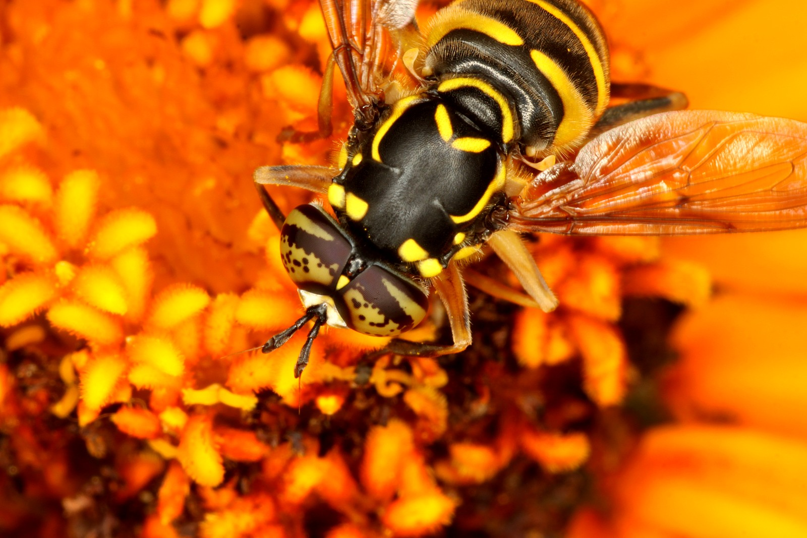 Fly, Genus Spilomyia