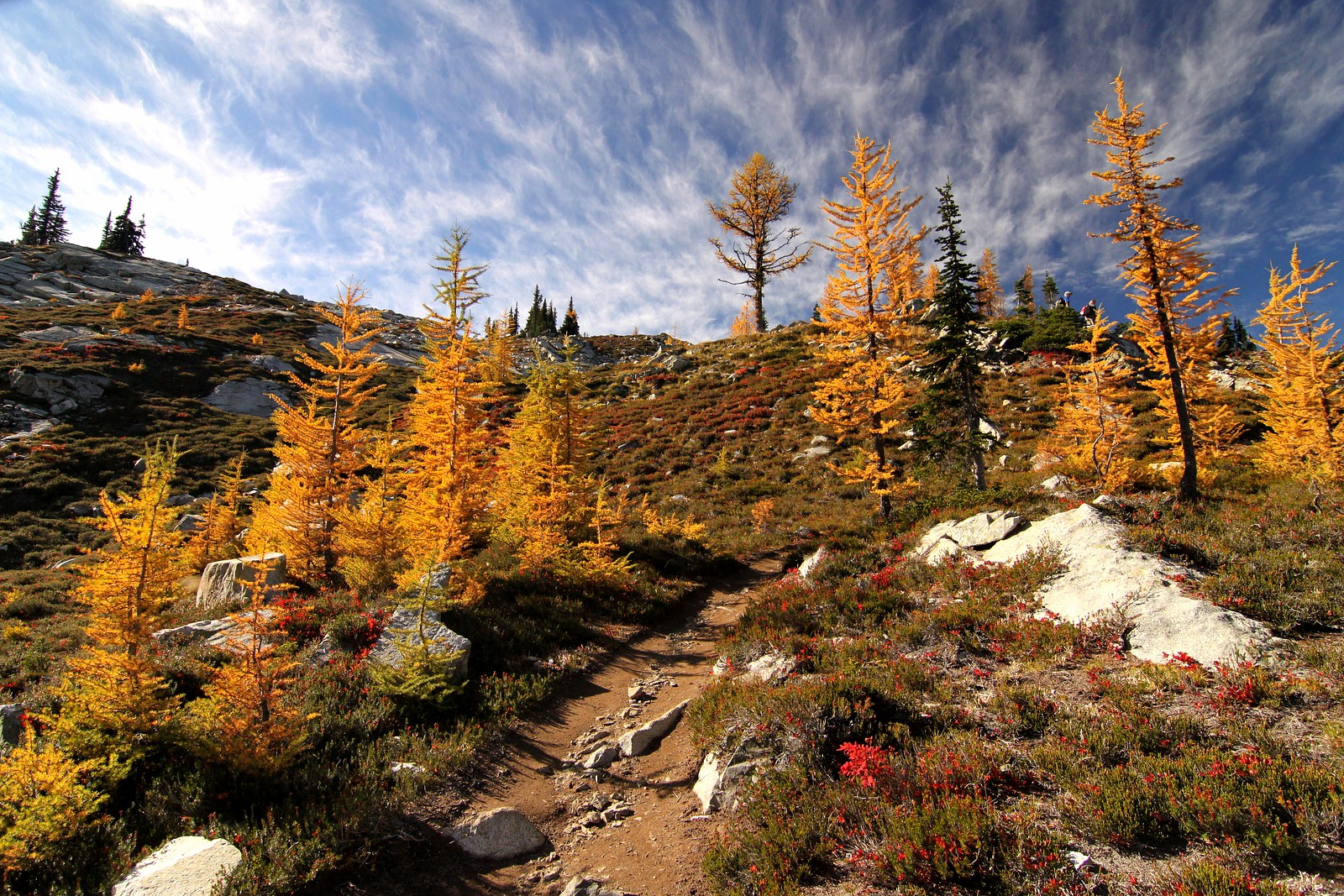 Larches at Heather Pass