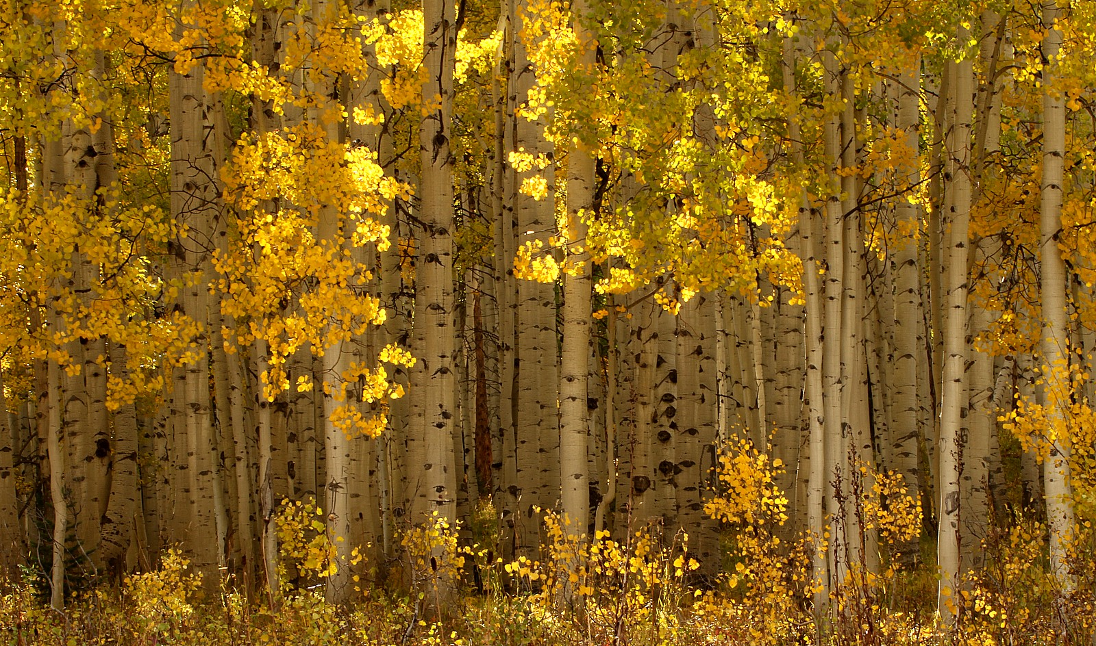 Aspens below Kebler Pass