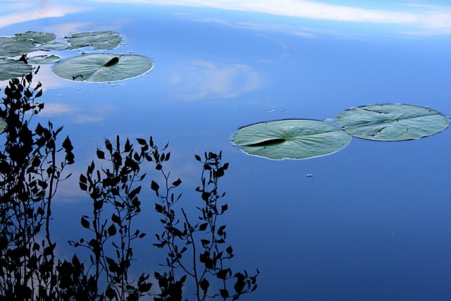 Lilypads, Washington Park Arboretum