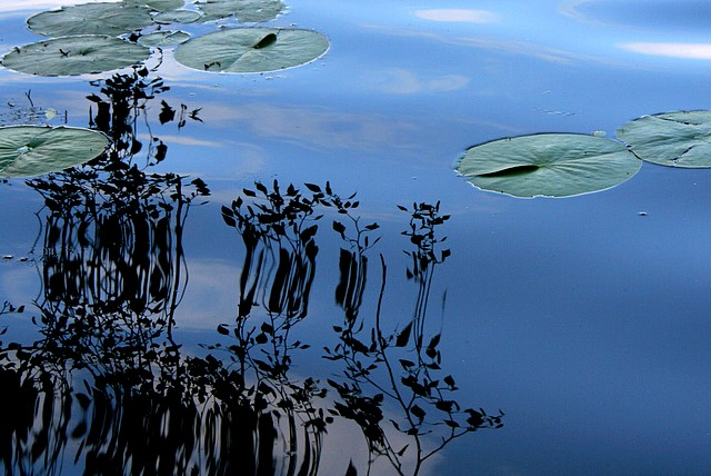 Lilypads - Washington Park Arboretum