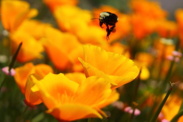 Poppies and a Bee<p>Camera: Canon EOS Rebel T1i<br>Tamron 28-300 mm VC lens