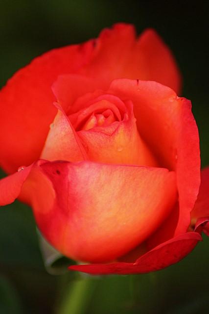 Rose - Woodland Park Rose Garden