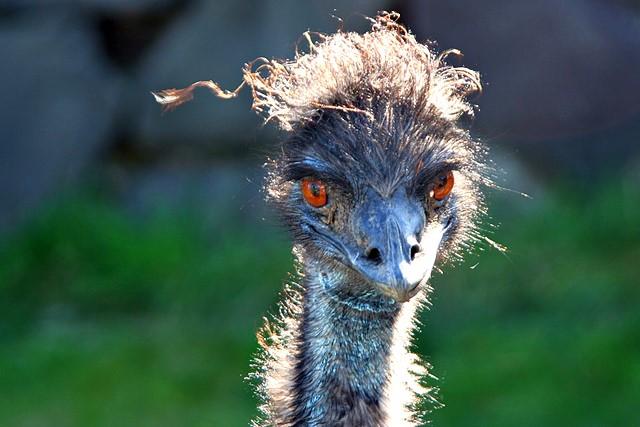 Emu<br>Cougar Mountain Zoo<br>Issaquah, Washington<p>Camera: Canon EOS Rebel XT<br>Tamron 28-300 mm VC lens