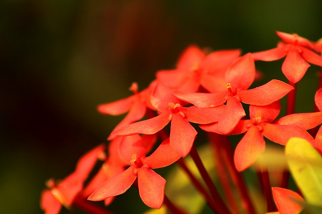 Ixora flowers<br>Negril, Jamaica<p>Camera: Canon EOS Rebel T1i<br>Quantaray 70-300 mm lens