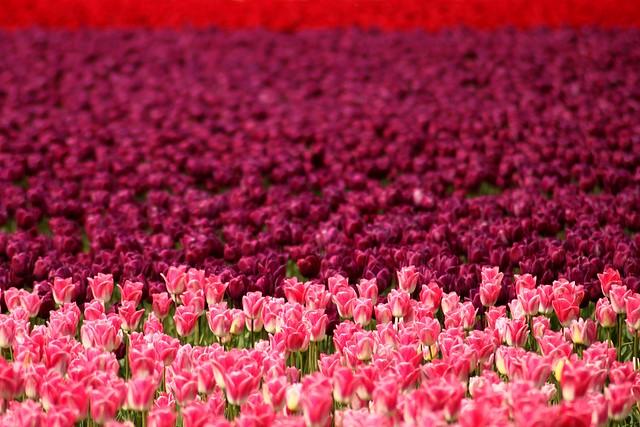 Skagit Valley Tulip Festival<br>Mt. Vernon, Washington<p>Camera: Canon EOS Rebel T1i<br>Quantaray 70-300mm lens