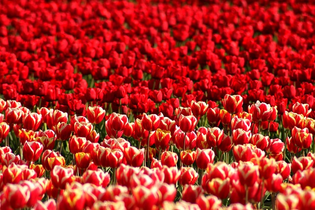Skagit Valley Tulip Festival<br>Mt. Vernon, Washington<p>Camera: Canon EOS Rebel T1i<br>Quantaray 70-300mm lens