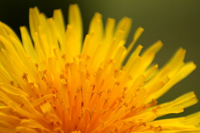 Dandelion<p>Camera: Canon EOS Rebel T1i<br>Canon 18-55mm kit lens<br>w/reverse-mount adapter
