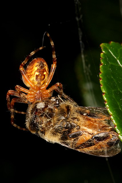 Spider eating a bee<bp>Canon EOS Rebel T1i<br>Tamron 90mm macro lens<br>w/ macro ring flash