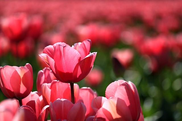2011 Skagit Valley Tulip Festival