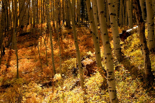 Aspen grove at Kebler Pass