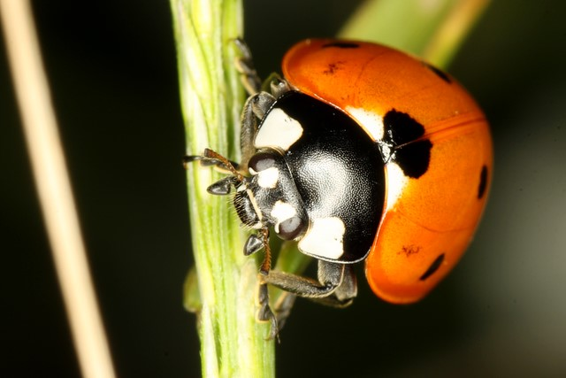 Ladybug<p>Camera: Canon EOS Rebel T1i<br>Tamron 90mm f/2.8 macro lens<br>using Opteka extension tube<br>and Phoenix macro ring flash