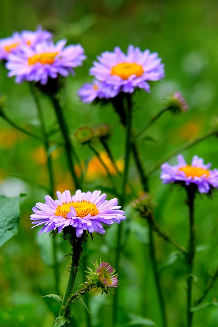 Purple Daisies<br>or whatever they are<p>Camera: Canon EOS Rebel XT<br>Tamron 28-300mm VC lens