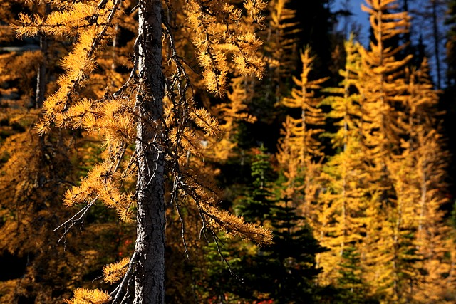 Larches on the Maple Pass Trail<br>North Cascades National Park<br>Washington State<p>Camera: Canon EOS Rebel T1i<br>Tamron 17-50mm f/2.8 lens