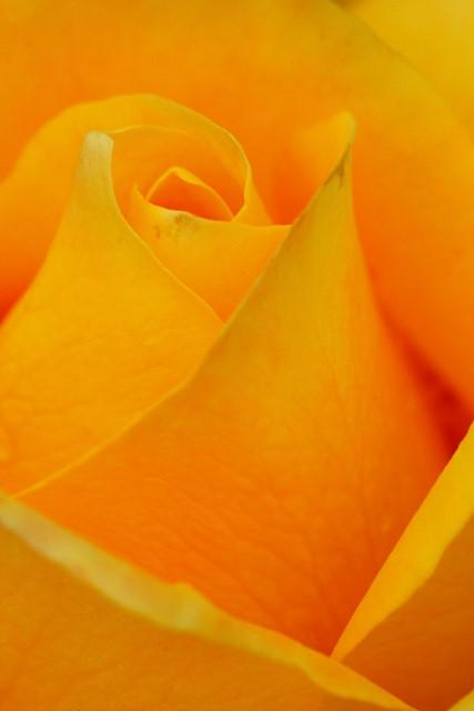 Rose<br>Woodland Park Rose Garden<br>Seattle, Washington<p>Camera: Canon EOS Rebel T1i<br>Kiron 105mm macro lens